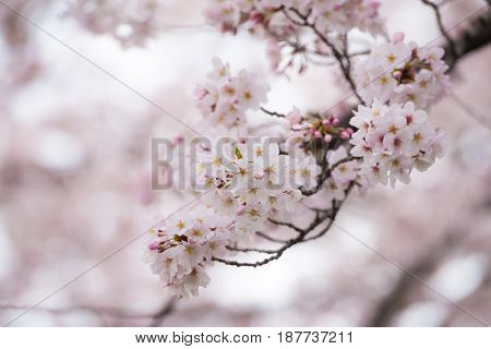 Spring cherry blossoms, with many flower buds on branch.  Natural tone and color.