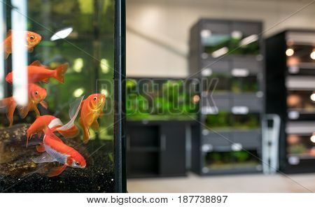 goldfish for sale  in an aquarium of a pet shop .Shallow dept of field