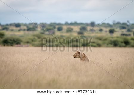 Lion Sitting In The High Grass.