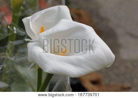 Two calla zantedeschia flowers of a white color