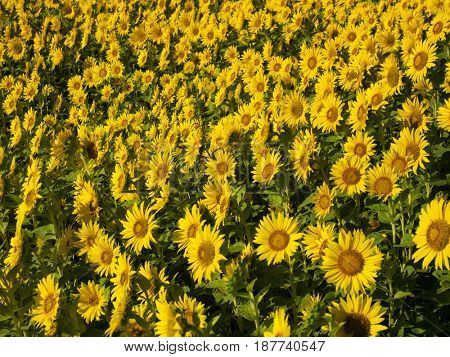 Field of mini sunflower (Helianthus) field, mid summer.