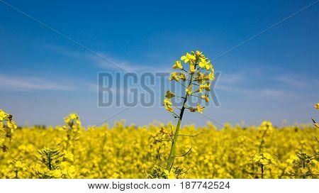 Nice rape meadow in suuny day