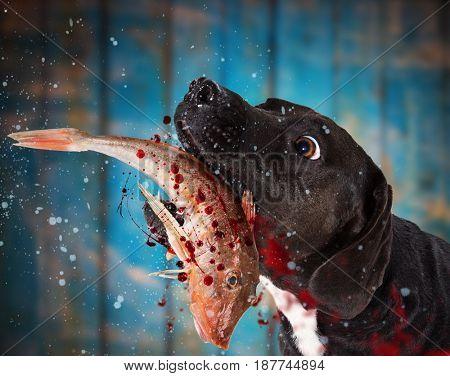 Black dog eating raw fish, close-up.