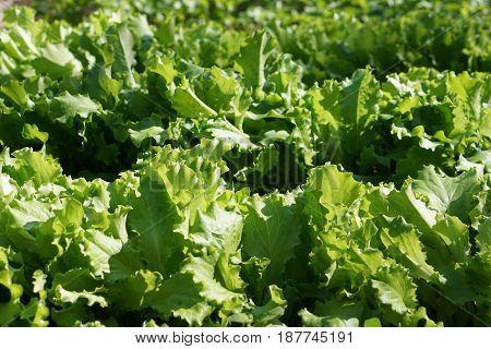 green  leaf Lettuce  Salad. Carved leaves. Macro.