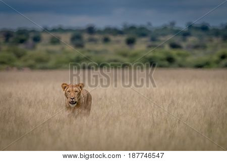 Lion Standing In The High Grass.