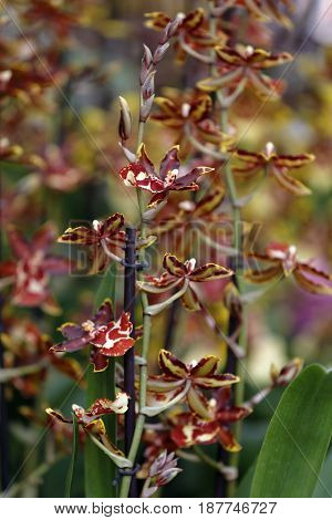 A flowery branch of orchid cambria in the garden