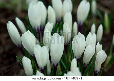 White crocuses on a spring meadow. Beauty in nature.