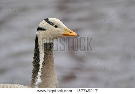 Zoo. The polar goose. In the frame is the head, the neck of the goose. Gray background.
