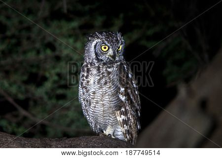 Spotted Eagle-owl Sitting In A Tree.