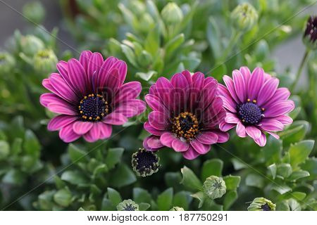 Three purple at gazania flower opens the petals