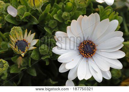 A gazania flower opens the white petals