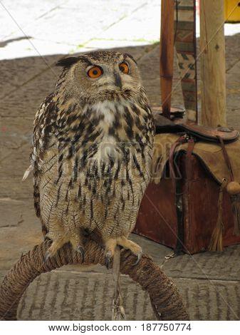 Portrait of long-eared owl ( Asio otus Strigidae family )