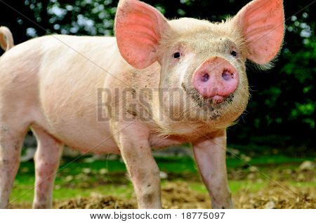 Cute young pig living outdoor
