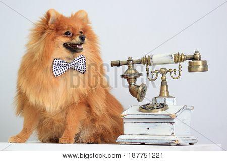 Pomeranian sits near a retro telephone. Pet animal.