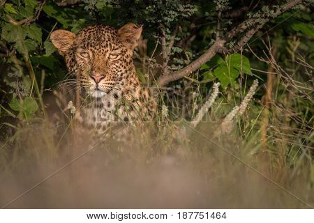 Leopard Hiding In The Bushes In The Kalahari.