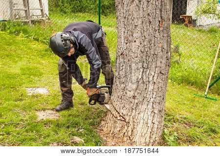 Woodcutter cuts the old walnut tree. Work from a chain saw. Wood preparation for heating