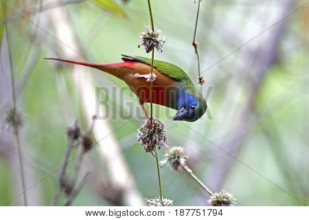 Pin-tailed Parrotfinch Erythrura Prasina Male Cute Birds Of Thailand