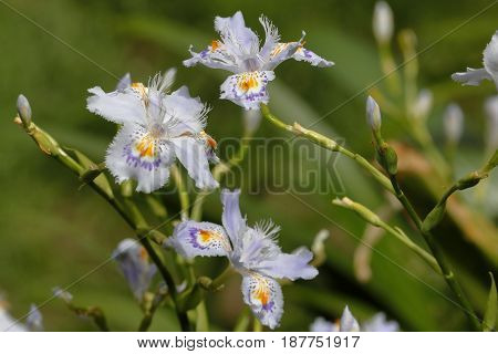 Iris japonica orchids scent the gardens of a park