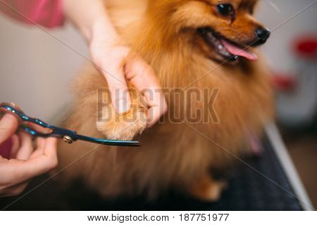 Pet groomer cuts with scissors claws of a dog