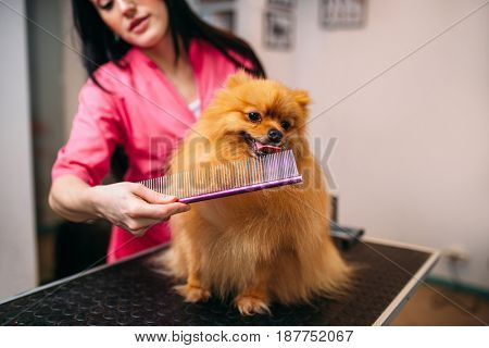 Pet groomer with comb, dog in grooming salon