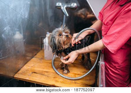 Pet grooming, dog washing in groomer salon