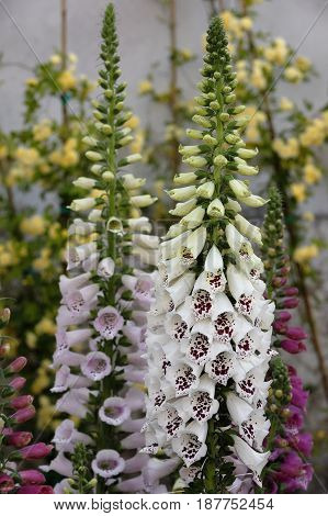 A digitalis plant is blooming in the garden