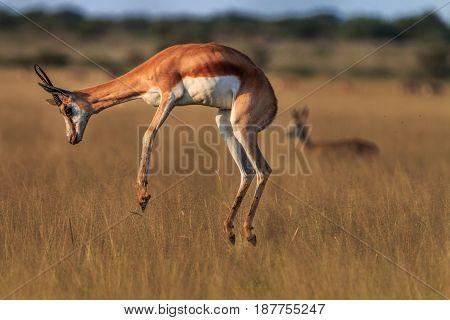 Springbok Pronking In The High Grass.