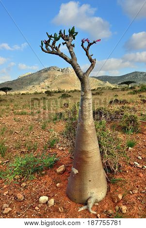 Endemic plant flowering bottle tree adenium obesum on the island Socotra at sunset Diksam Plateau Yemen