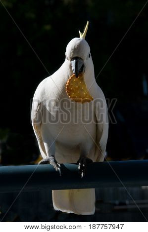 Australian Sulphur-crested Cockatoo (Cacatua galerita) eating a cracker/biscuit standing on a balcony rail. Gosford New South Wales Australia. photograph by Geoff Childs.
