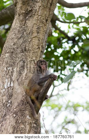 small rhesus monkey is sitting on a tree