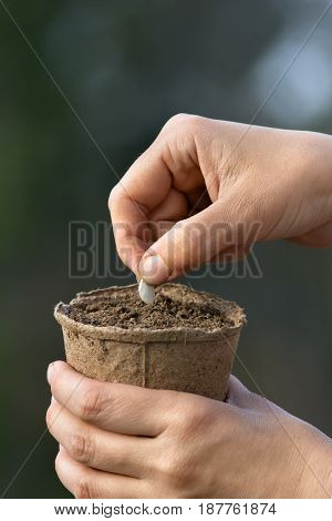 hands of woman planting seeds in peat pot with soil