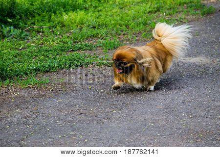 Pekingese dog walking in a city park