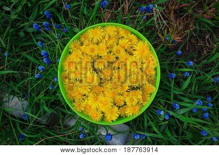 Green Basket With Yellow Dandelions On The Grass With Blue Flowers.