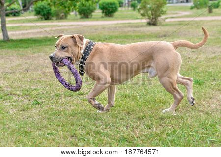 A dog a brown pitbull runs along the grass with a toy in its teeth