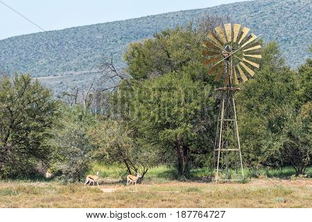 Springbok and a water-pumping windmill in the Karoo region of South Africa