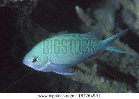 A Blue Green Chromis damselfish (Chromis viridis) near branching coral at the Kwajalein Atoll in the Pacific