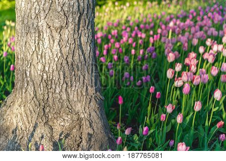 lots of fresh tulips in the forest. tree among the tulips.