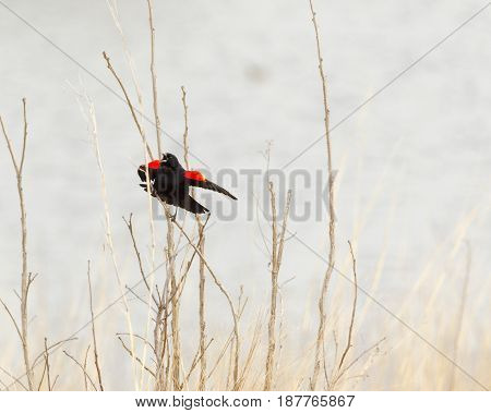 red wing blackbird singing for its mate