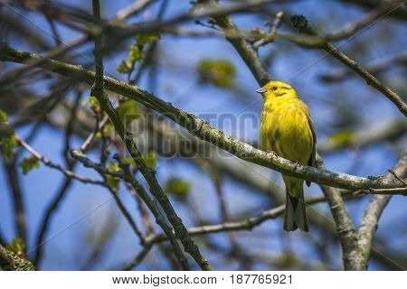 Serinus Serinus Bird On A Small Twig