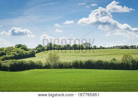 Rural green fields in the spring with blooming trees with green leaves under a blue sky