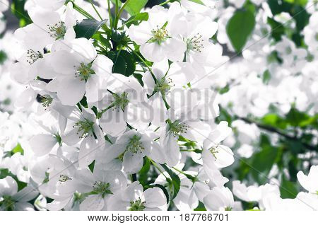 White flowers on branches of blooming apple tree.