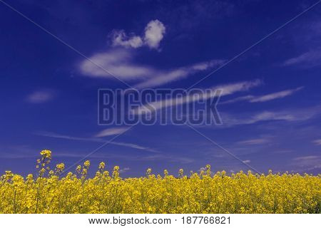 A rural landscape with a blooming yellow rape field
