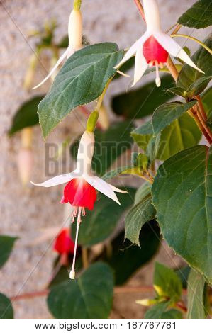 Close up of beautiful red and white flower fuchsia