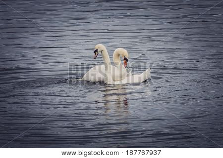 Couple of white swans in a mating season on the lake
