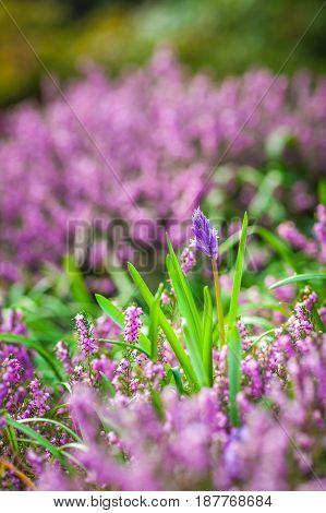 Purple Loosestrife flowers in the garden in spring