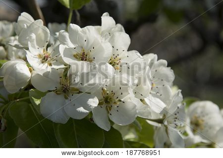 Pear tree flower blooming in the first spring