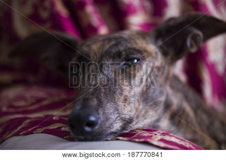Lying dog's head on a red pillow