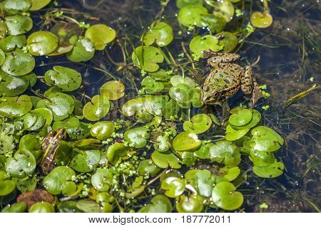 Animal World, Frog In Swamp, Looking Around