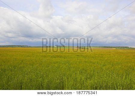 Springtime Barley Crop