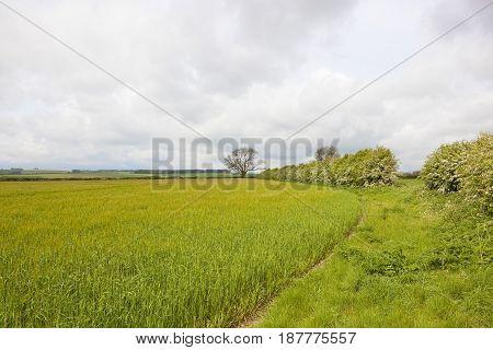 Hawthorn Hedgerow And Barley